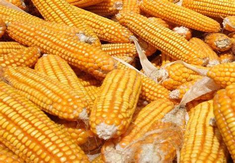 harga jagung yang melambung persulit pengusaha pakan