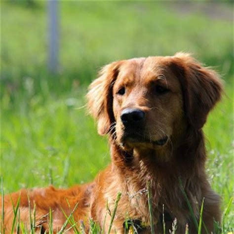 wisconsin golden retriever breeders golden retriever breeders golden retriever puppies for sale wisconsin minnesota