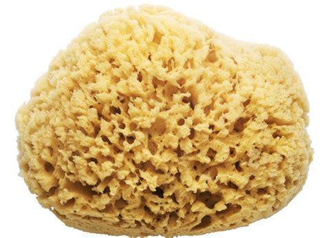 sea sponge on natural hair natural sea sponge kaufmann mercantile kaufmann mercantile