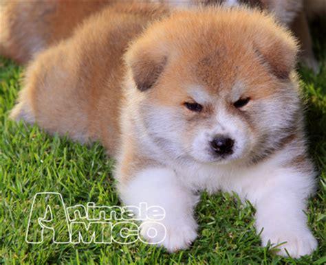 akita inu appartamento vendita cucciolo akita inu da allevatore a reggio emilia