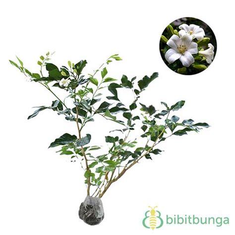 Jual Polybag Jumbo jual tanaman kemuning jumbo bibitbunga