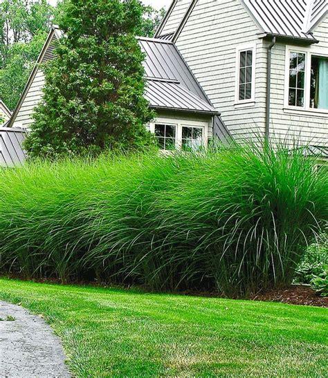 pflegeleichte pflanzen für den garten die besten 25 sichtschutz pflanzen ideen auf