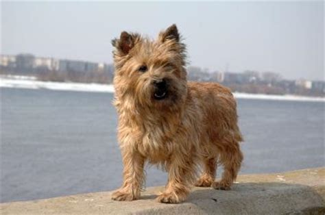 is it ok to cut a cairn terrieris har short then re grow it grooming a cairn terrier lovetoknow