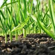 coltivazione aglio in vaso coltivazione aglio coltivare orto come coltivare l aglio