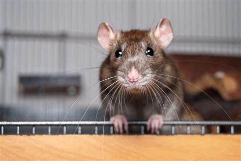keeping pet rats petshomes