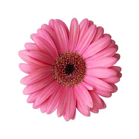 imagenes rosas sin fondo vinilo decorativo gerbera rosa murando