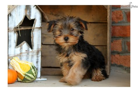 yorkies for sale in lancaster pa yorkie poo pups for sale in lancaster pa
