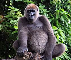 A Grassroots Effort to Save Africa's Most Endangered Ape ...