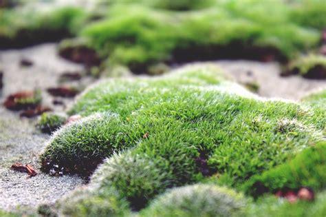 how to grow moss in your garden primrose blog