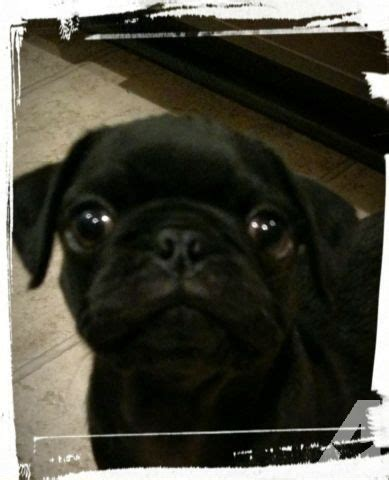 pugs for sale in carolina ckc pug for sale in bunnlevel carolina classified americanlisted