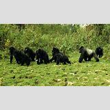 Mountain Gorilla Habitat   945 x 531 jpeg 135kB