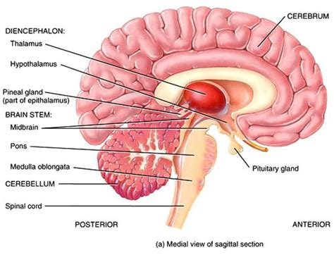 diagram of diencephalon week 8 brain anatomy zoology 451 with dodge at oregon