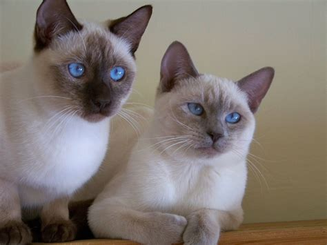 SOLD! Exceptional Old Style Siamese Kittens!   Haywards