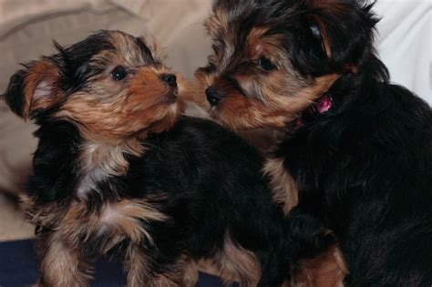 teacup yorkie adoption atlanta pets atlanta ga free classified ads