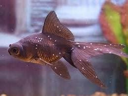 Obat White Spot goldfish ich disease treatment