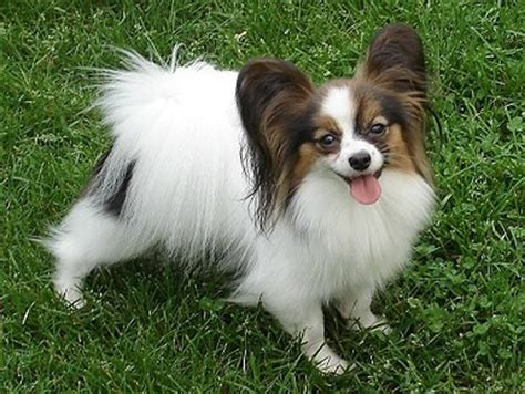 papillon puppies for sale in pa papillon