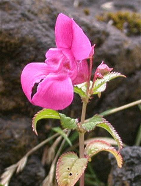 fiori di bach x ansia fiore di bach impatiens fare di una mosca