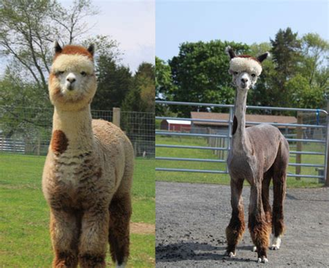 Shaved Llama Meme - funny alpaca new nice pictures photos 2012 funny images show