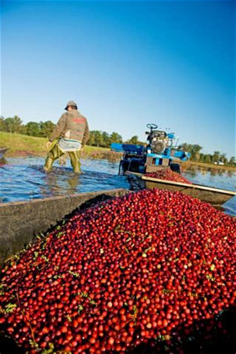 fall getaway  wisconsins cranberry harvest midwest living