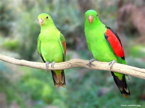 parrot encyclopedia red winged parrot world parrot trust
