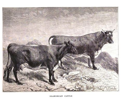 ancient breeds puregrass beef lost local breeds