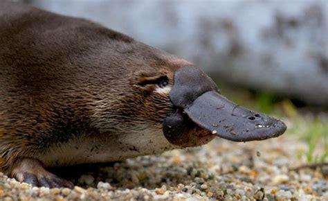 platypus zoos victoria