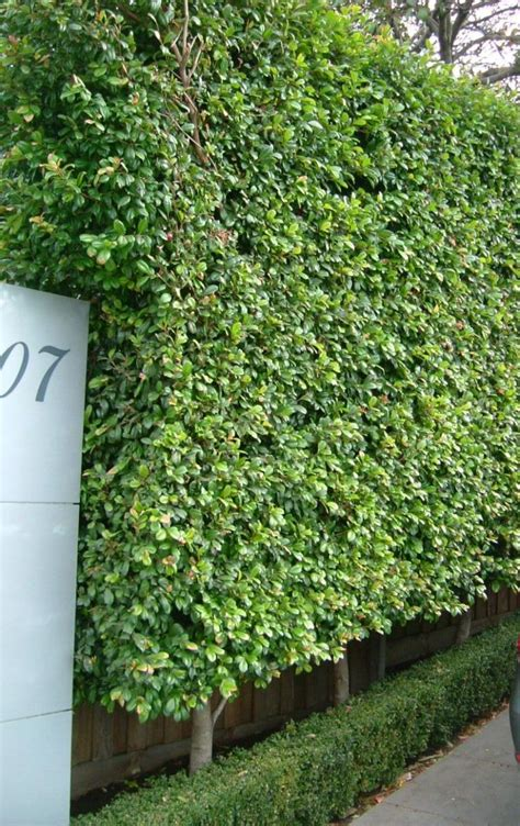 Garden Hedging Ideas Best 20 Garden Hedges Ideas On Pinterest Hedges Boxwood Hedge And Hedges Landscaping