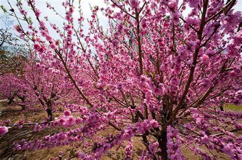 alberi di pesco in fiore fiori piante e giardini mondo pesco piccolo albero