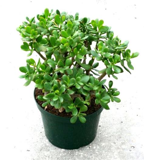 Garden Flowers A Z 10 Jade Crassula 21 00 Z Plants The Best Florist Quality Plant Material Grown In Florida