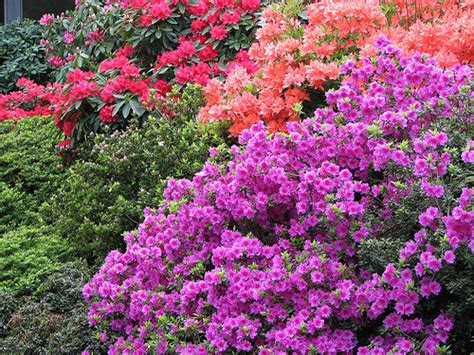 planting azaleas and rhododendron the garden lady