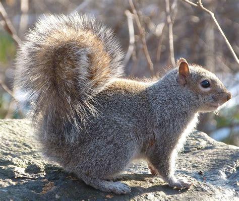 best 28 squirrel buy popular squirrel diamond buy