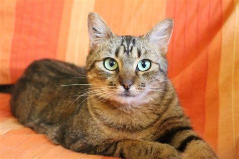Cat On The Sofa Caracter 237 Sticas Principales De Los Gatos Atigrados