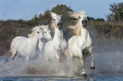 which movement does color field painting belong to camargue horses gallop through the calm saltwater delta of