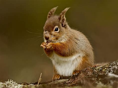 squirrel eating nut wallpaper wallpapergeeks com
