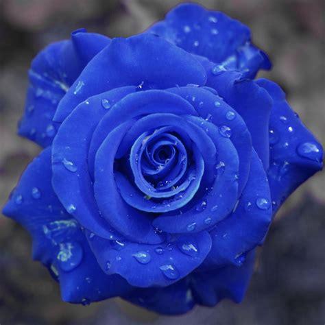 wallpaper flower rose blue yellow wallpaper blue roses