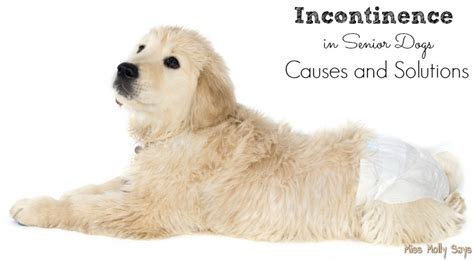 incontinence in dogs incontinence in senior dogs causes and solutions miss molly says