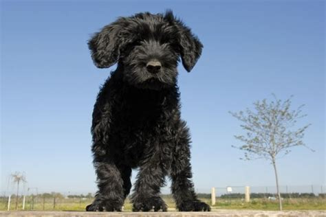 portuguese water shedding breeds that don t shed portuguese water dogs