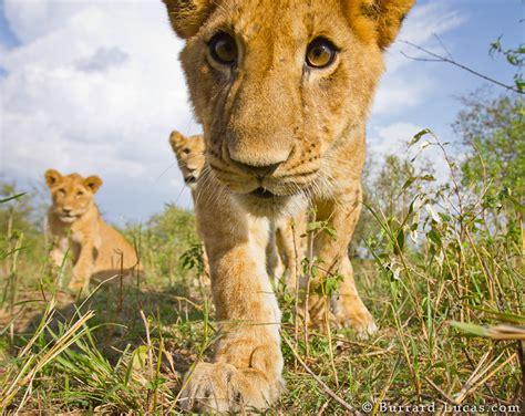 close  lion cub burrard lucas photography
