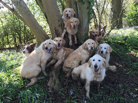 trained golden retrievers for sale uk golden retriever bred fully trained 1 yr alton hshire pets4homes