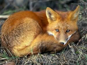 what color are foxes fox color of and power