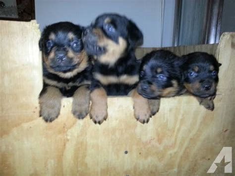 rottweiler puppies in kentucky german rottweiler puppies for sale in corbin kentucky classified americanlisted