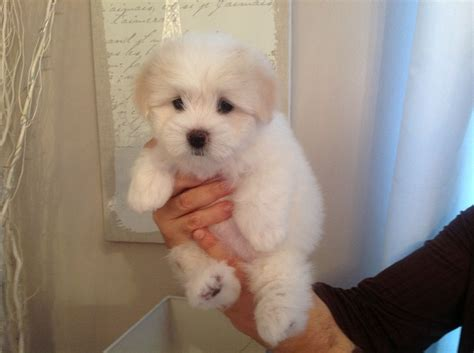 coton de tulear puppy coton de tulear puppies breeds puppies coton de tulear puppies is sweet and