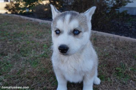 husky puppies for sale in ga husky puppy aubie went home today siberian husky puppies for sale