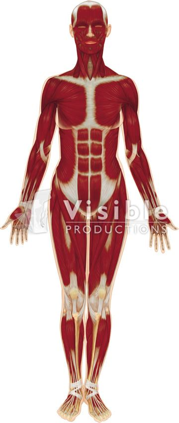 muscular system diagram labeled muscular system diagram unlabeled defenderauto info