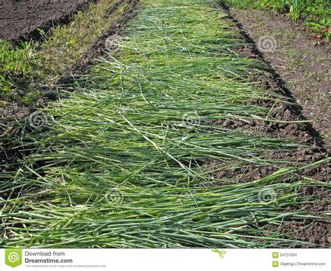 imagenes abonos verdes abono verde foto de archivo imagen 54751934