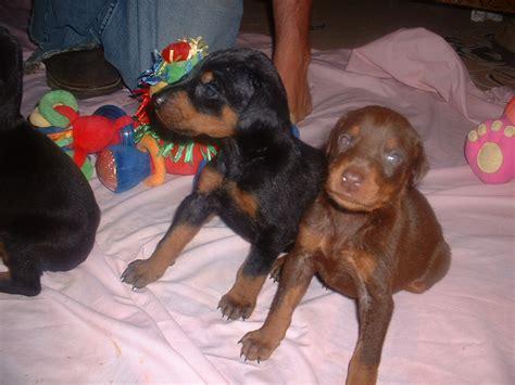 mini doberman puppies miniature pinscher fox terrier mix memes