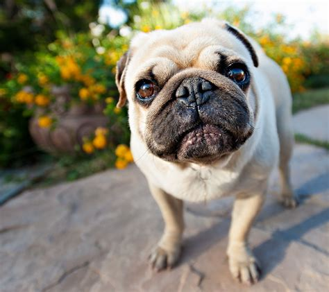 pug wallpaper for walls pug wallpaper for walls wallpaper wallpaper hd background desktop