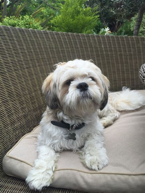 shih tzu 1 year adorable 1 year shih tzu boy for sale southend on sea essex pets4homes