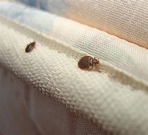 removing bed bugs bed bug control removal how to get rid of bed bugs