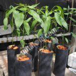 Pupuk Kalsium Bawang Merah 7 tahap mudah cara menanam bawang merah hidroponik sederhana